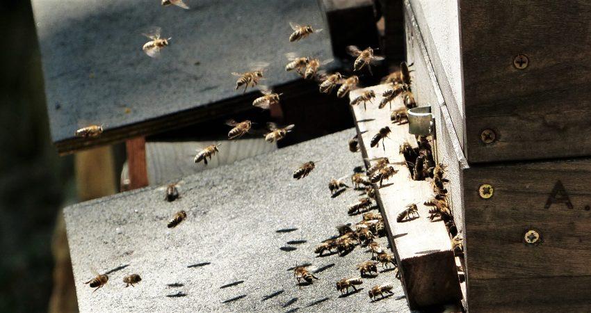 Vor dem Eingang zum Bienenstock herrscht ein reges Kommen und Gehen der ein- und ausfliegenden Bienen.