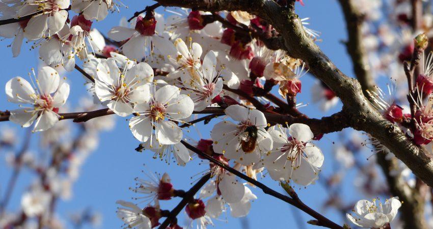 Einzelne Blüten eines Aprikosenbaums mit Biene