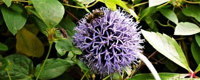 Biene auf Distelblüte