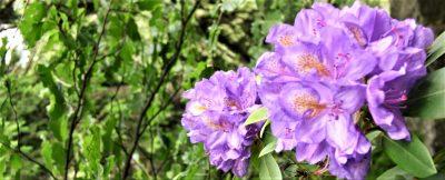 Lilablaue Rhododendronblüte